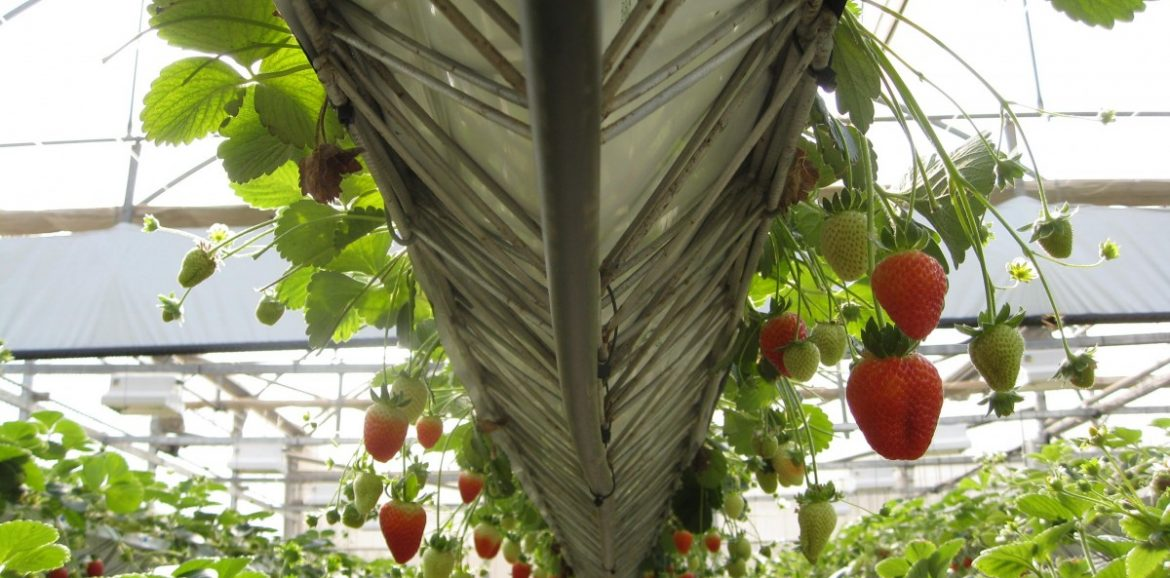 greenhouse_strawberries